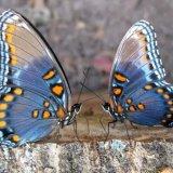 Бабочки-подружки